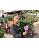 Rhododendron Hybrid Marcel Menard 2 Litre Pot