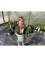 Rhododendron Scarlet Wonder 4 Litre Pot