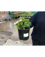 Rhododendron Hybrid Blue Jay 2 Litre Pot