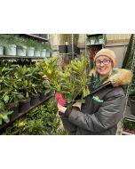 Rhododendron Hybrid Wilgen's Ruby 5 Litre Pot
