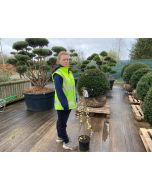 Salix Kilmarnock 5 litre Pot 80cm Stem