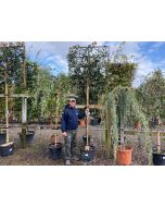 Photinia Red Robin Pleached Full Standard 180cm ST 120x120cm