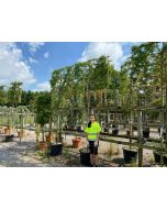 Carpinus B. Rockhampton Red Pleached Standard 12/14cm Girth