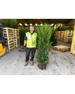 Yew Hedging Root Ball 140-160cm Extra Wide