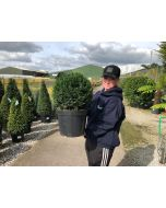 Yew Ball 10 Litre Pot 30cm+
