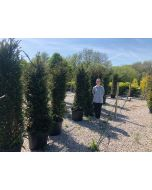 Yew Hedging 160-180 cm 50 Litre Pot