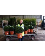 Yew Ball 15 Litre Pot 35-40cm