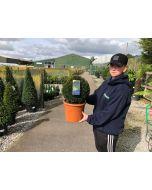 Yew Ball 7.5 Litre Pot 25cm+