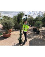 Trachelospermum Jasminoides 9 Litre Pot 200-225cm