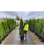Thuja Occidentalis Emerald Root Ball 140/160cm Digging Now