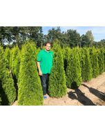 Thuja Emerald Root Ball 180-200cm