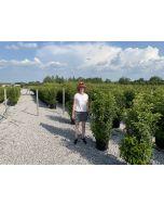 Prunus lusitanica Angustifolia Root Ball 120/140 cm Digging Now