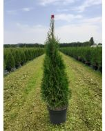Thuja Occidentalis Emerald 7 Litre Pot 100cm Pre Order For September Delivery