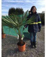 Trachycarpus Fortunei 20 Litre Pot