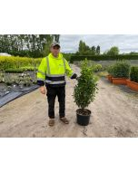 Portuguese Laurel 110/120cm 20 Litre Pot