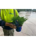 Juniperus Mint Julep 2 Litre Pot