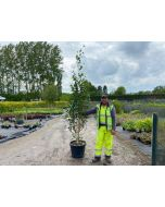 Betula utilis Jacquemontii Multi-Feathered Bush 45 Litre Pot 250cm+