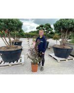 Acer palmatum Garnet 50 Litre Pot