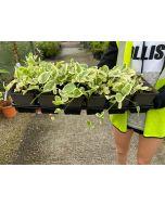 Vinca Major Variegata 9 cm Pot X 12 Plant Pack