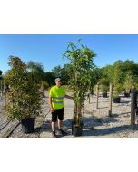 Pseudosasa Japonica 35-70 Litre Pot 180/200cm Extra Wide Bush