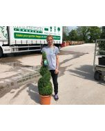 Buxus Or Box Spiral 12 Litre Pot 80/90cm