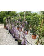 Wisteria Floribunda Caroline 10 Litre Pot 150/200cm