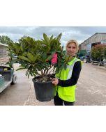 Rhododendron Hybrid Wilgen's Ruby 15 Litre Pot