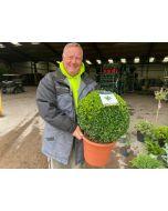 Buxus Sempervirens Ball 12 Litre Pot 40-45cm