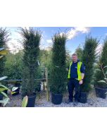Yew Hedging Root Ball 180/200cm Pre Order