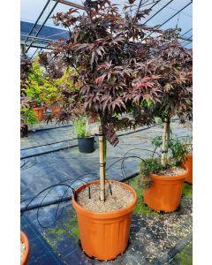 Acer palmatum Shaina 30 Litre Pot