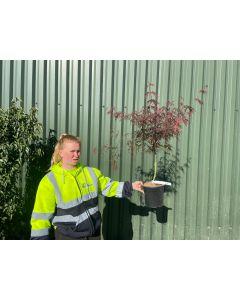 Acer Palmatum Dissectum Fire Cracker 4.5 Litre Pot