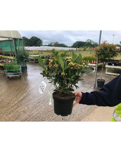 Skimmia Japonica Olympic Flame 3 Litre Pot