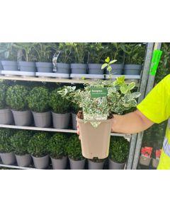 Euonymus Emerald Gaiety 11cm Pot