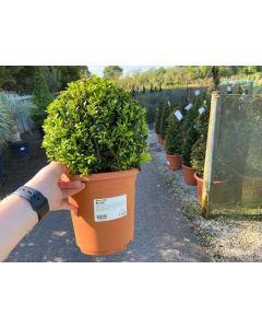 Box Ball 23-25cm 3 Litre Pot