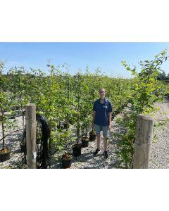 Hornbeam Carpinus Betulus 5 Litre 130/140 cm