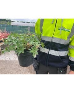 Geranium Brookside 1.5 Litre Pot