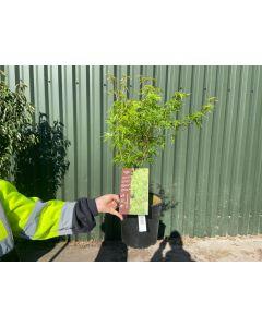 Acer palmatum Seiryu 4.5 Litre Pot