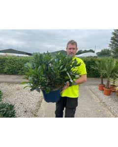 Rhododendron Hybrid Cunningham's White 15 Litre Pot