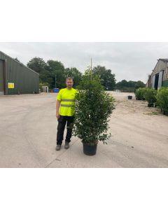 Prunus Lusitanica Myrtifolia 25 Litre 150/160cm