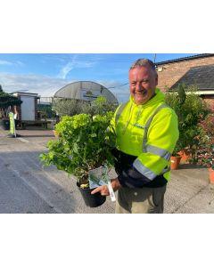 Hydrangea Paniculata Little Lime 4.5 Litre Pot