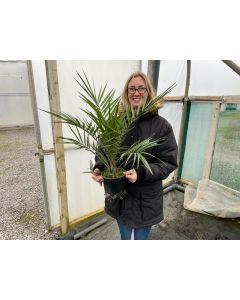 Phoenix Canariensis 2.5 Litre Pot