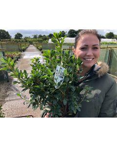 Azalea Japonica Palestrina