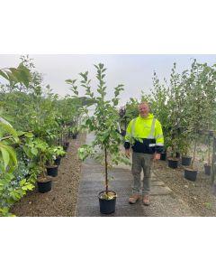 Prunus padus Le Thouriel 15 Litre Pot