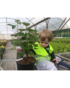 Ribes Red Bross 4.5 Litre Pot