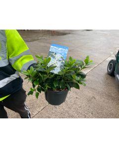 Azalea Japonica Mary Helen 2.5 Litre Pot