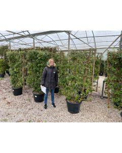 Quercus Ilex Pleached Wall Panel 55 Litre Pot 160 x 110cm