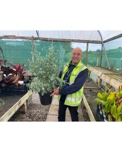 Eucalyptus Gunnii 5 Litre Pot