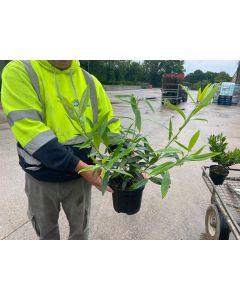 Prunus Zabeliana 3 Litre Pot