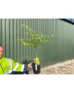 Acer palmatum Emerald Lace 4.5 Litre Pot