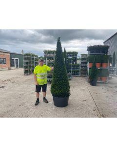 Yew Cone 65 Litre Pot 190/200cm